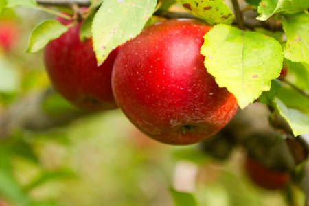 Fresh apples in the Apple orchard. Stok Fotoğraf
