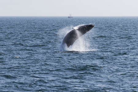 breaching: Whale watching experience off the coast of Atlantic. Stock Photo