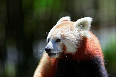 oso panda: Lindo panda rojo posando para la cámara. Foto de archivo