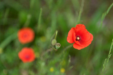 red poppies on green field: Bright red poppy flowers in the meadow on a summer day. Stock Photo