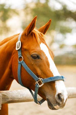 hippodrome: Racehorse portrait on the farm.