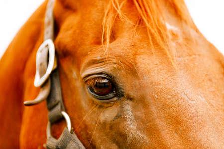 Racehorse portrait on the farm.