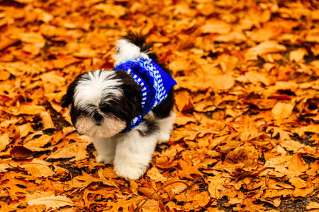 Shih Tzu puppy playing in the fallen leaves. Stock Photo
