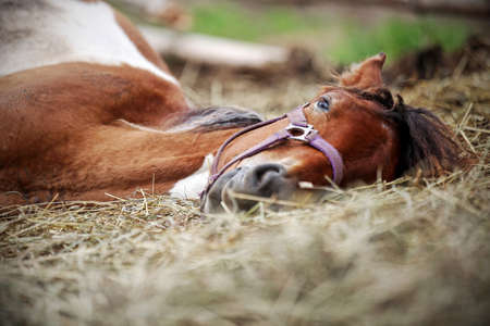 Horse resting in the hay on the farm photo