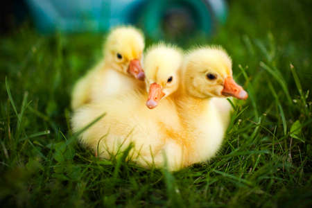 Little ducklings exploring the world around us Stock Photo