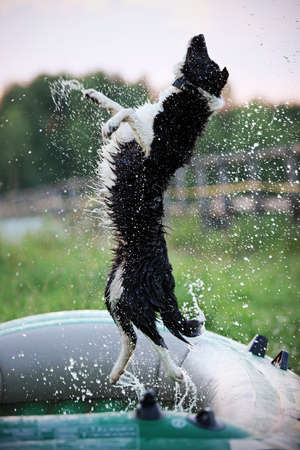 Border Collie jumping over the water drops from the hose photo