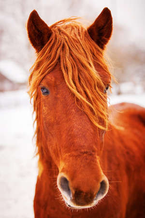 waiting glance: Portrait of beautiful red horse in winter outdoors. Russia farm Stock Photo