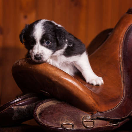 rested: Beautiful month-old puppy rested his head on the old skin saddle for a horse. Not isolated