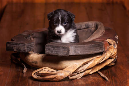 horse collar: Month-old puppy border collie sitting inside collar for a horse and looking at the camera. Not isolated