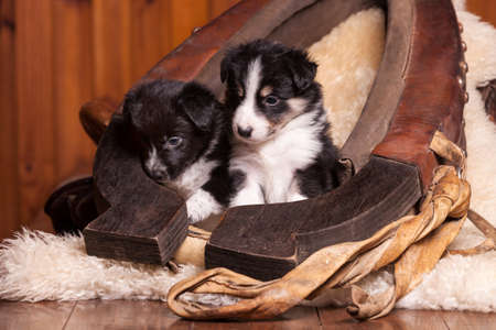horse collar: Two beautiful month old puppy sitting on sheepskin inside the old clamp. Not isolated