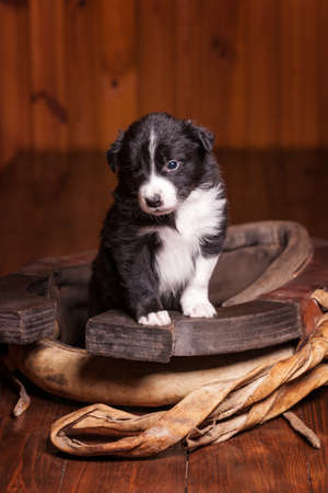 border collie puppy: Young border collie puppy became front paws on the old clamp. Not isolated Stock Photo