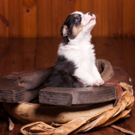 horse collar: Beautiful puppy became front paws on the collar for a horse and looking up. Not isolated Stock Photo