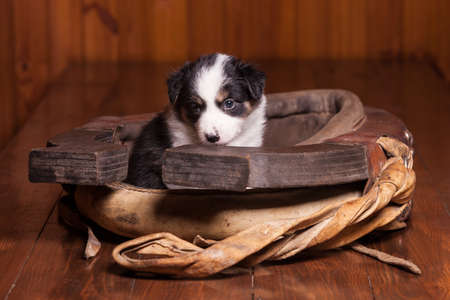 horse collar: Sad puppy border collie sitting inside collar for a horse. Not isolated Stock Photo