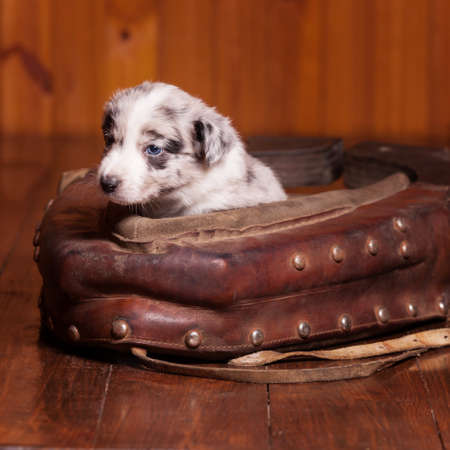 horse collar: Good and beautiful month old puppy inside old collar. Not isolated Stock Photo