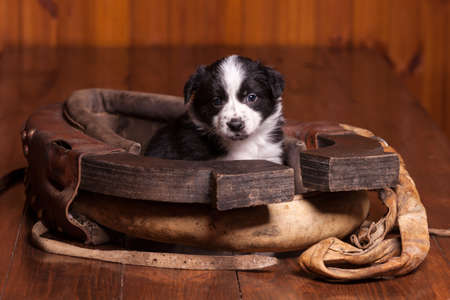 horse collar: Black and white puppy sitting inside of a month and a collar looking at the camera. Not isolated Stock Photo