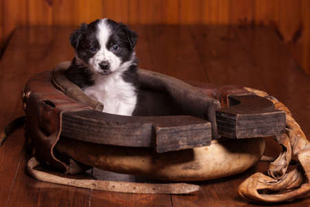 horse collar: Cute puppy sitting inside an old horse collar. Not isolated Stock Photo
