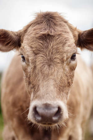 subtlety: Portrait of a beautiful cow bull who looks into the camera