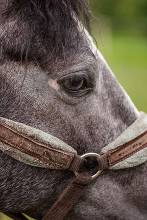 waiting glance: Big Eye beautiful horse in the bridle Stock Photo