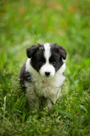 border collie puppy: Beautiful little black and white border collie puppy in the grass
