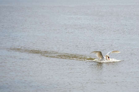 Swan plans to the surface of the lake.