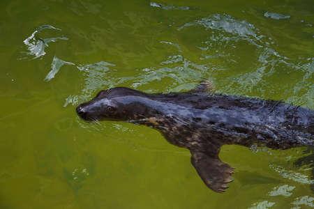 Fur seal swims. 写真素材