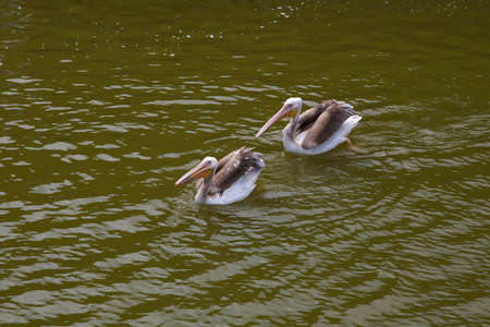 Pelicans swims and catches fish. 写真素材