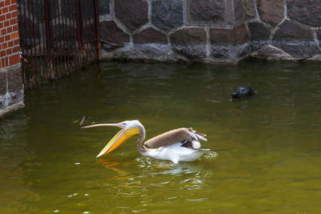 A pelican catches fish and a sea cat is watching him. 写真素材