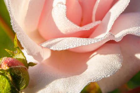 Dew drops on rose petals close-up. Macro shooting. Stock Photo