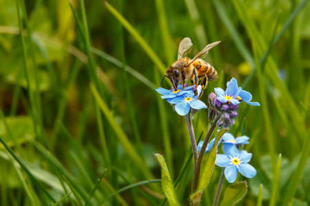 A bee sits on a blue flower and collects nectar.