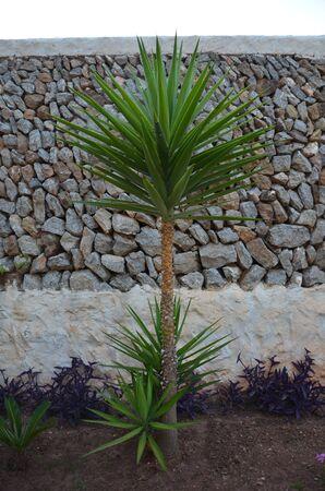 mediteranean: Mediteranean plant against traditional rock wall