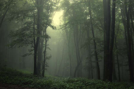 mystery woods: a beam of light in a natural foggy green forest