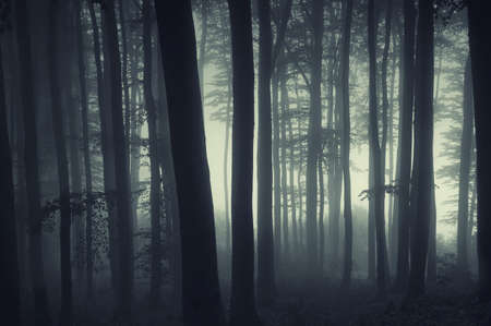 Forest of beech with fog at sunrise, with light coming trough