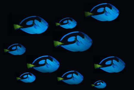 neon fish: Bank of blue clown fish on dark background
