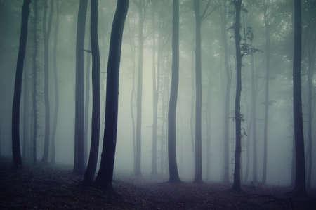buche: Silhouetten von B�umen in einem dunklen Wald mit Nebel