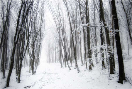 Mysterious foggy forest with snow and fog in winter Stock Photo - 10329100