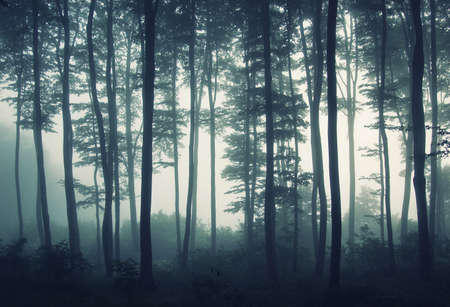 Silhouettes of straight trees in a foggy mysterious forest at sunrise