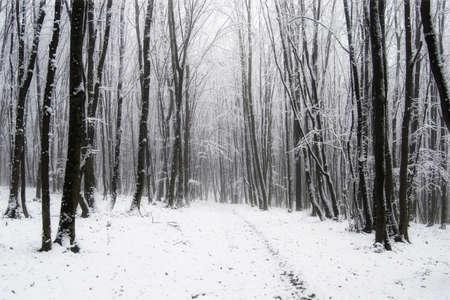 arboles blanco y negro: Invierno en el bosque con nieve y árboles