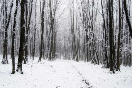 fog white: Winter in the forest with snow and trees Stock Photo