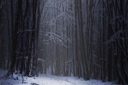 january sunrise: Bosque oscuro con nieve en las ramas de los �rboles en invierno