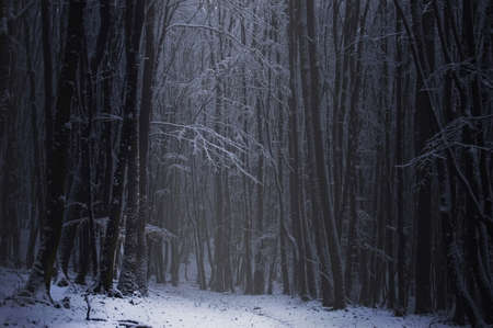 Dark forest with snow on the branches of the trees in the winter