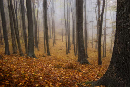 transylvania: Trees in an autumn forest with red leafs and fog trough the trees Stock Photo