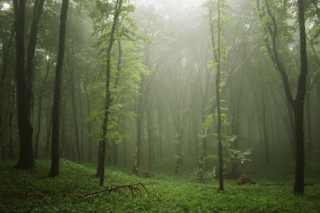 Mist in a beautiful green forest with fog after rain