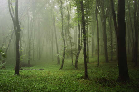 Green forest with fog after rain in nature