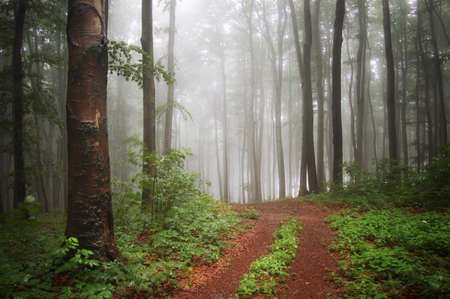 misty forest: Beautiful natural beech forest with fog, green plants and light  Stock Photo