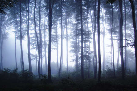 Sunset in a forest with fog on a cold day with light trough beech trees