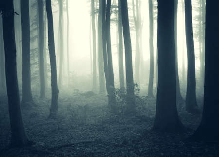 dark forest: cold morning in a forest with fog Stock Photo