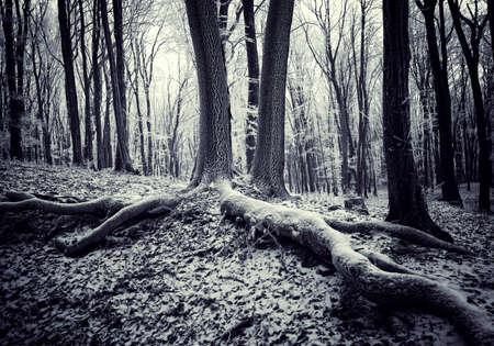 erdboden: Wurzeln der B�ume Zwilling in einem dunklen geheimnisvollen Wald mit Eis bedeckt Lizenzfreie Bilder