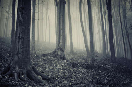 old mysterious forest with fog in late autumn november Stock Photo - 10831693