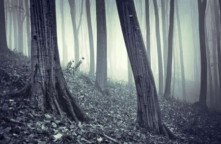 rain on beech trees in a forest with fog