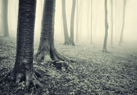 misty forest: tree trunks in forest with mysterious fog